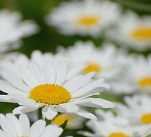 Field of Daisies by Buttershug2