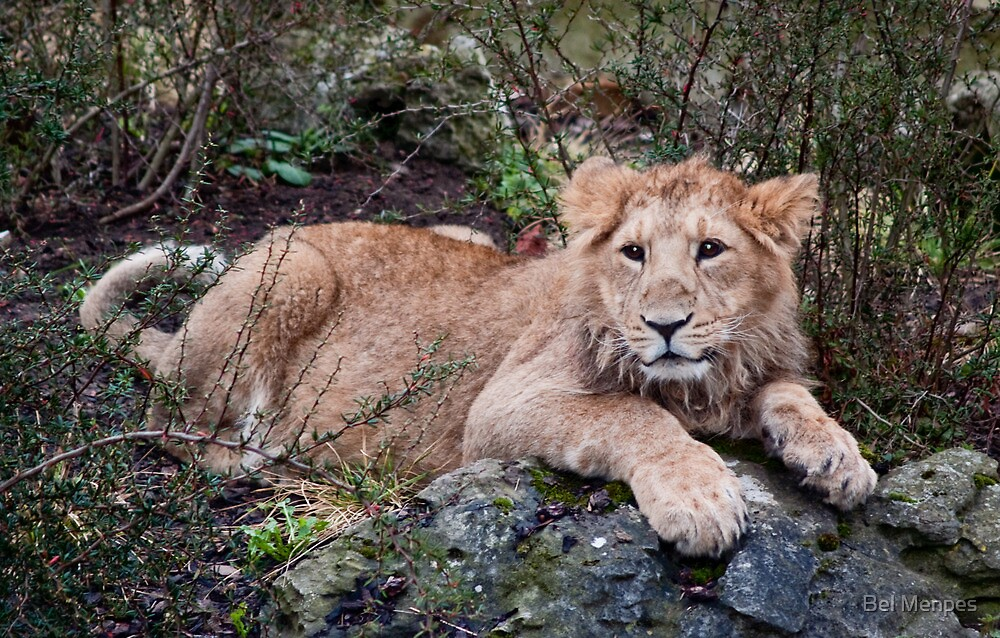Young Lion at Rest by Bel Menpes