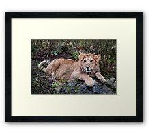 Young Lion at Rest Framed Print