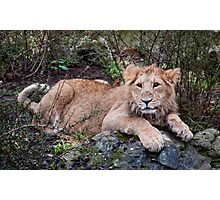 Young Lion at Rest Photographic Print