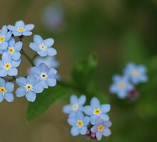 Forget Me Not by Buttershug2