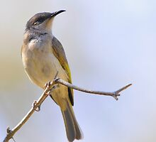 brown honeyeater a bird from the bush by Grandalf