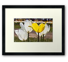 White & Yellow - Tulips Framed Print