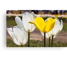 White & Yellow - Tulips Canvas Print