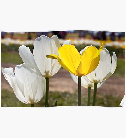 White & Yellow - Tulips Poster