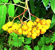 Yellow Berries by merrychris