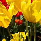 Red & Yellow - Tulips by Frank Moroni