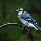 Blue Jay in the Garden by Charles Plant