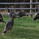 Wild Turkey by lincolngraham