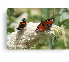 Butterfly Dancers ~ On White Buddliah ~ Canvas Print