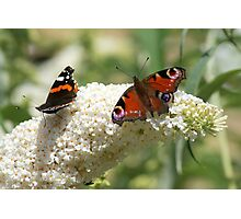 Butterfly Dancers ~ On White Buddliah ~ Photographic Print