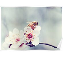 Bee on Plum Blossom Poster
