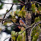 Eastern Bluebird by Monica M. Scanlan