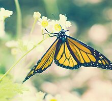 Monarch Butterfly on Daisy by JRoseStudio