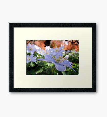 Delicate hues of spring Framed Print
