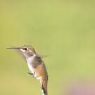 Rufous Humming bird. by Rosemaree