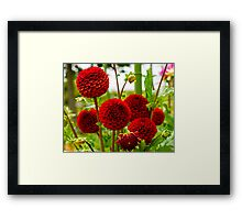 Dahlia In Bloom 8 Framed Print