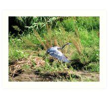 """Take off"" Great Blue Heron Art Print"