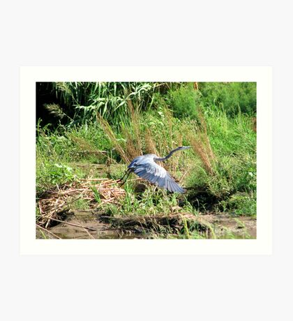 """Take off"" Great Blue Heron Art Print"
