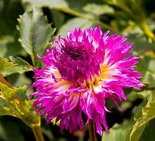 Dahlia In Bloom 10 by JoeGeraci