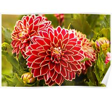 Dahlia In Bloom 11 Poster