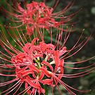 red spider lily flowers by Sheila McCrea