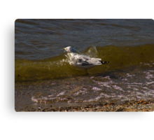 Wave Wash, Montana Sea Gull Taking a Bath Canvas Print