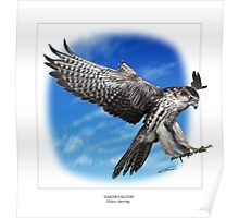 SAKER FALCON Falco cherrug (NOT A PHOTOGRAPH OR PHOTOMANIPULATION) Poster