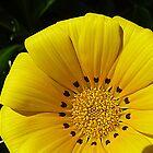 Hibbertia - has variegated foliage- Oct. 2010 by EdsMum