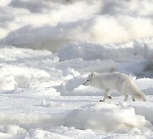 Arctic Fox #2, on the Tundra, Hudson Bay, Canada  by Carole-Anne