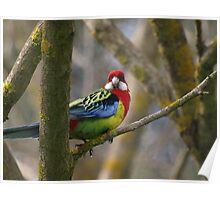 Eastern Rosella Parrot  -  Australia Poster