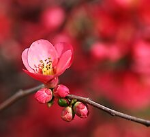 Warmth Of Flowering Quince by Joy Watson