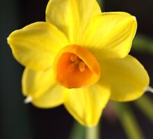 Yellows of Jonquils by Joy Watson