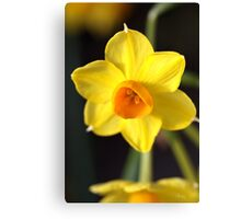 Yellows of Jonquils Canvas Print