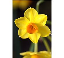 Yellows of Jonquils Photographic Print