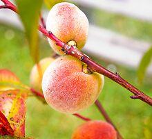 Peach Tree by Amy Boyd