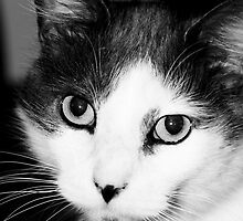 A Grey and White Cat by Amy Boyd