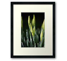 Daffodil Buds Framed Print