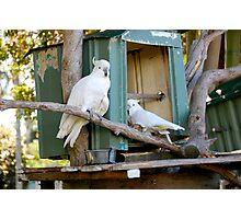 Cockatoos Photographic Print