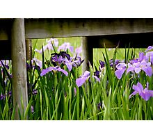 Irises under the bridge Photographic Print