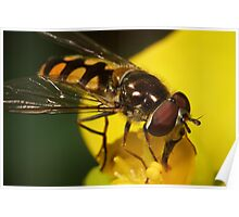 Hoverfly on yellow flower III Poster