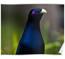 Australian Male Satin Bower Bird 1 Poster