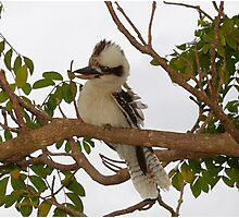 Kookaburra Tree 2 Photographic Print