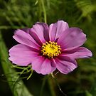 Pink Cosmos Flower by marens
