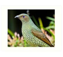 Australian Female Satin Bower Bird Art Print