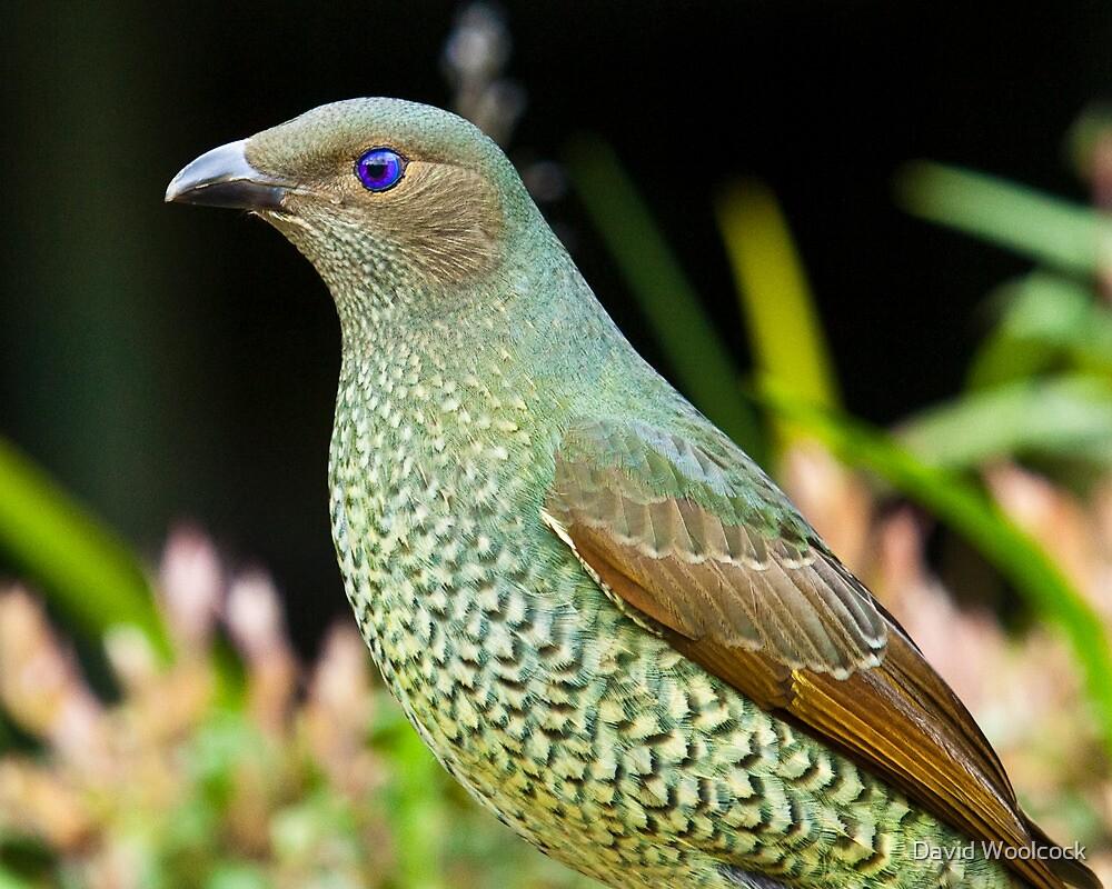 Australian Female Satin Bower Bird by David Woolcock