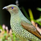 Australian Female Satin Bower Bird by David Woolcock