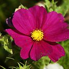 Purple Cosmos Flower by marens