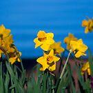Daffodils by Jason Scott