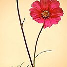 Cosmos Again by Mike  Waldron